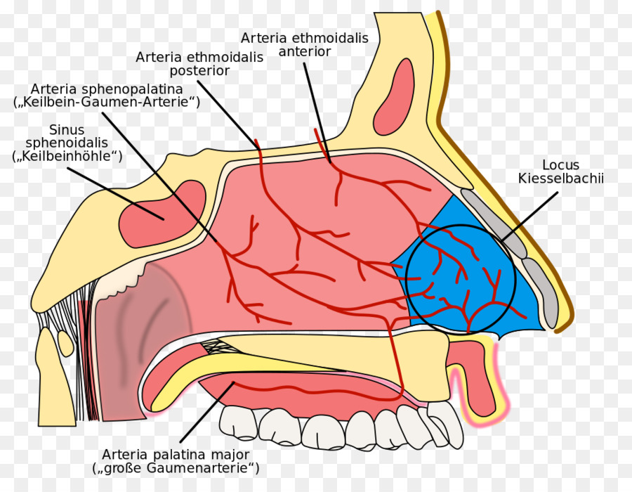 Nasal Cavity Kiesselbachs Plexus Nosebleed Ethmoid Sinus Anatomy Of