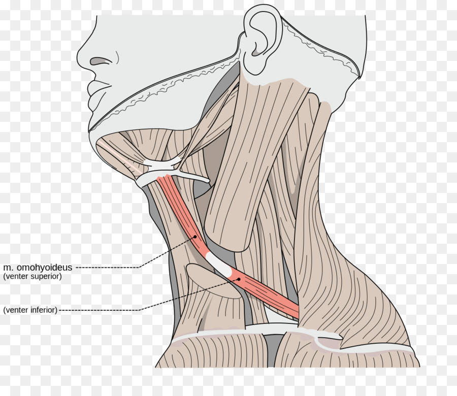 Sternocleidomastoid muscle Omohyoid muscle Neck Trapezius muscle ...