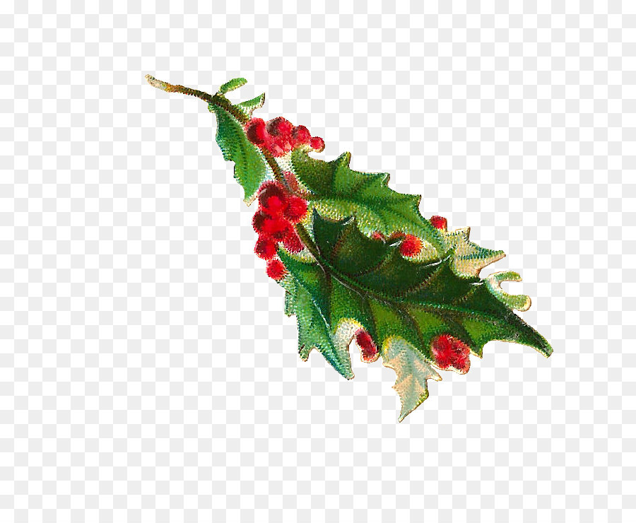 common holly clip art holly illustration material png download
