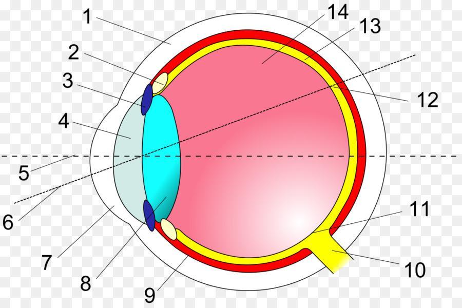 Ojo humano de la sección Transversal de la Anatomía de la Retina ...