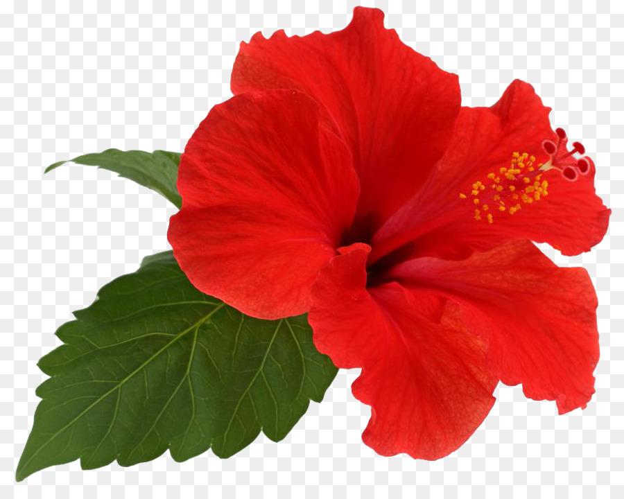 Shoeblackplant Flower Leaf Roselle Hibiscus Flower Png Download