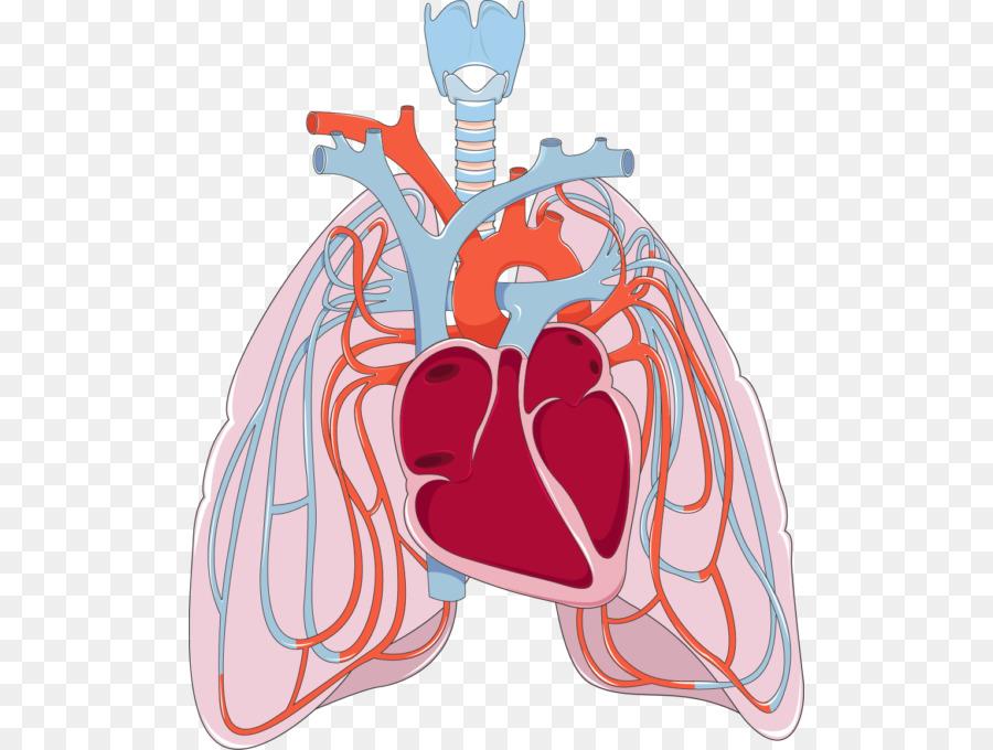 Lung Pulmonary circulation Bronchus Disease Heart - creative lungs ...