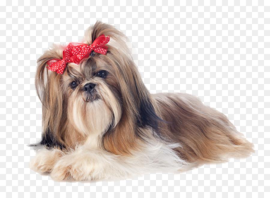 Shih tzu yorkshire terrier maltese dog puppy standard schnauzer.