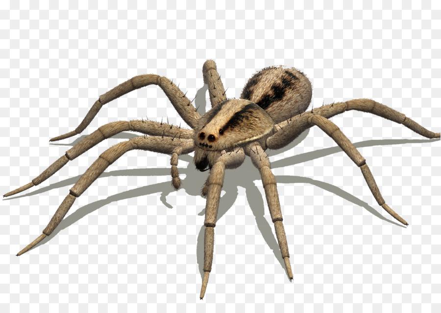 Australian Spiders Goliath birdeater Wolf spider Delena cancerides ...