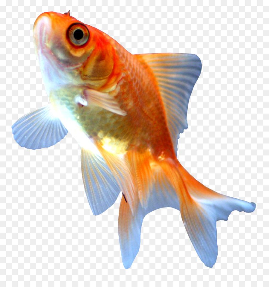 Comet Ryukin Ranchu Koi Fish - fish png download - 1419*1498 - Free ...