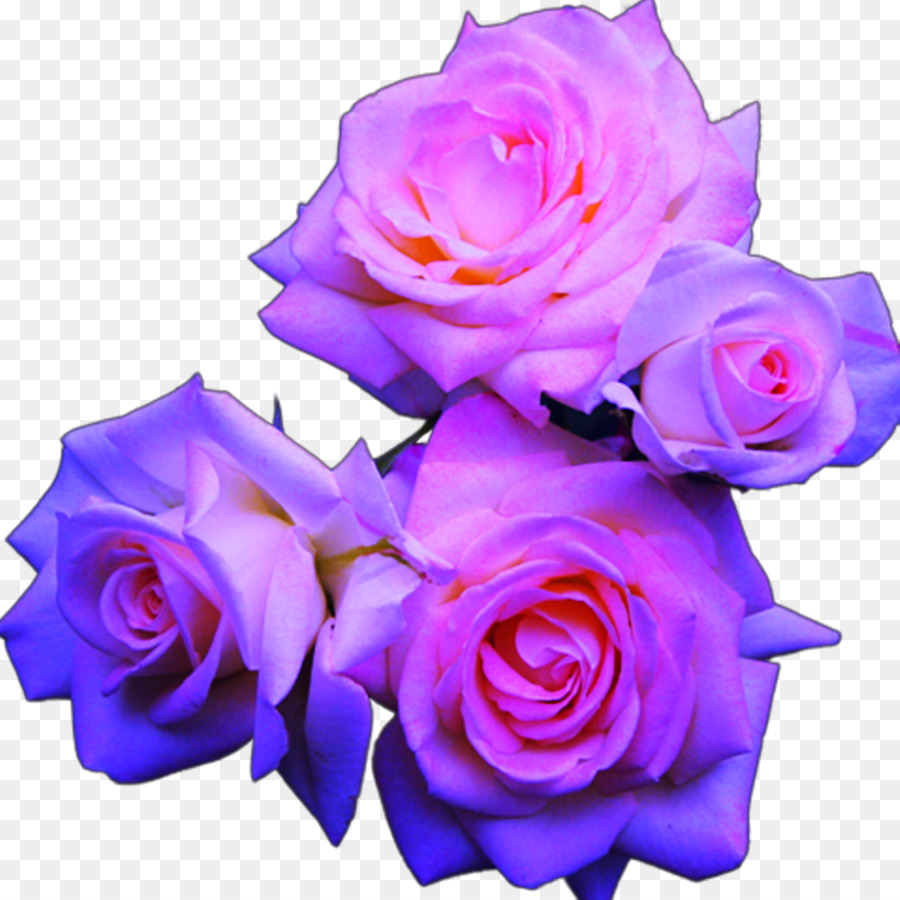 Blue Rose Pink Flowers Rose Png Download 10241024 Free