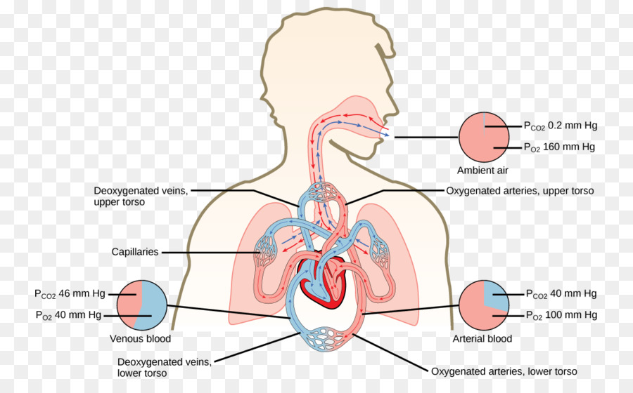 Gas Exchange Carbon Dioxide Oxygen Cycle Pulmonary Alveolus