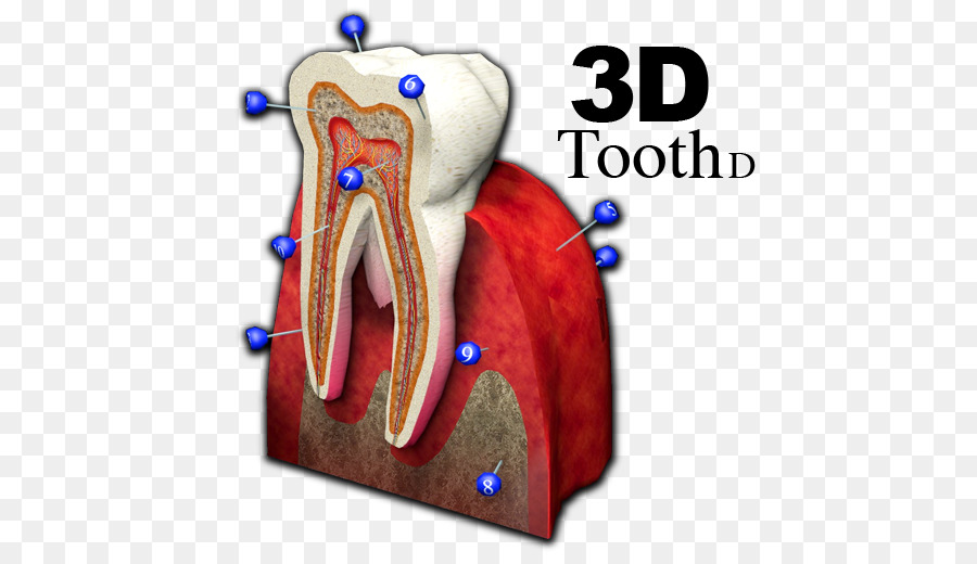 Jaw Joint Shoulder Tooth - 3d tooth png download - 512*512 - Free ...