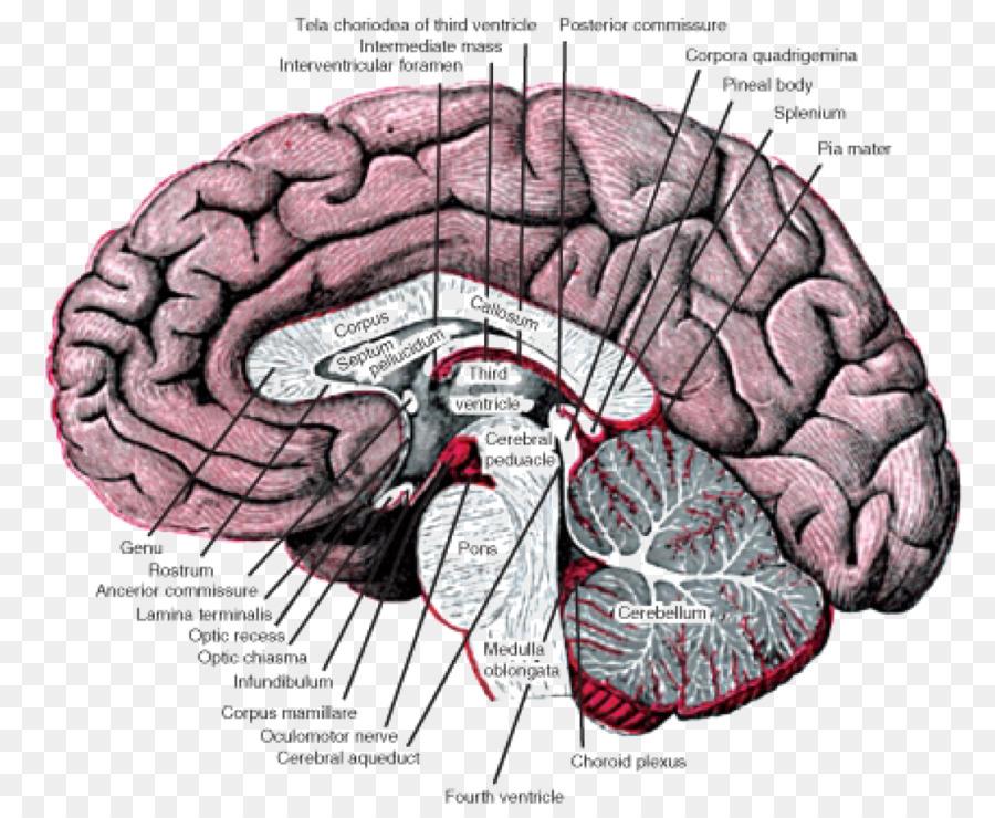 Los ganglios basales Núcleo de la Anatomía del cerebro anterior ...