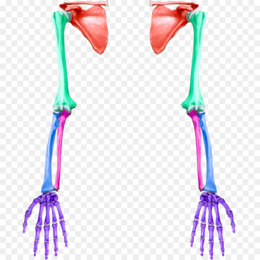 Anatomy Arm Upper limb Bone - ar png download - 1024*1024 - Free ...
