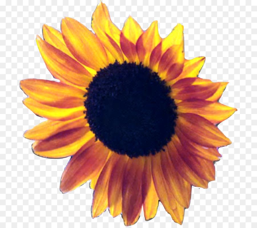Common Sunflower Seed Desktop Wallpaper