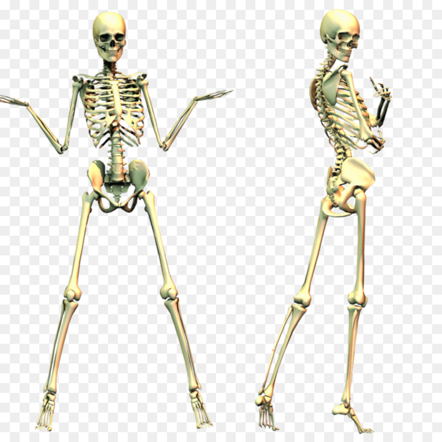 Esqueleto humano Cráneo Clip art - Esqueleto png dibujo ...
