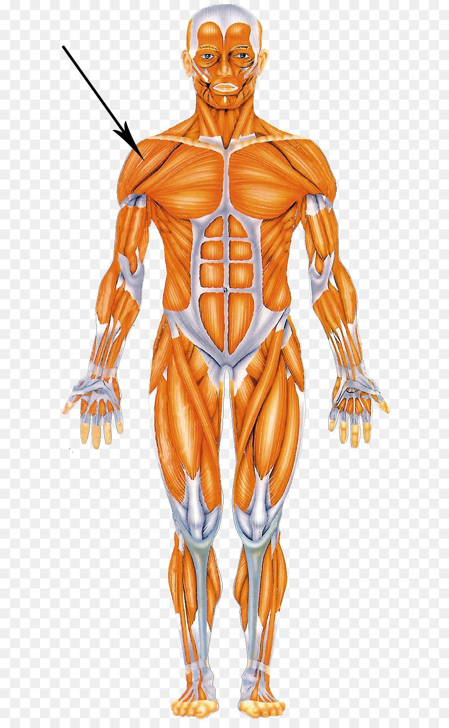 Cuerpo humano Muscular el sistema Muscular anatomía Humana, el Homo ...