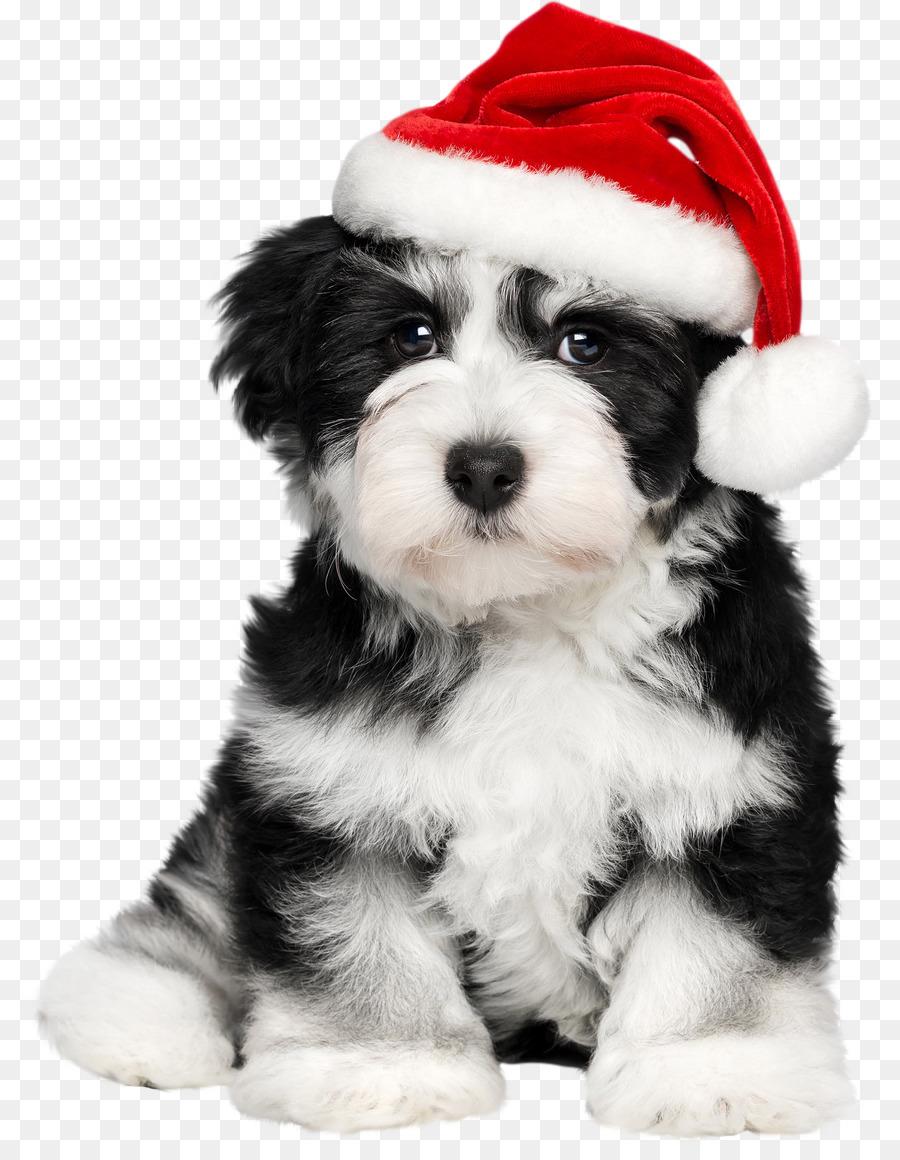 Havanese dog Puppy Santa Claus French Bulldog - puppy png download ...
