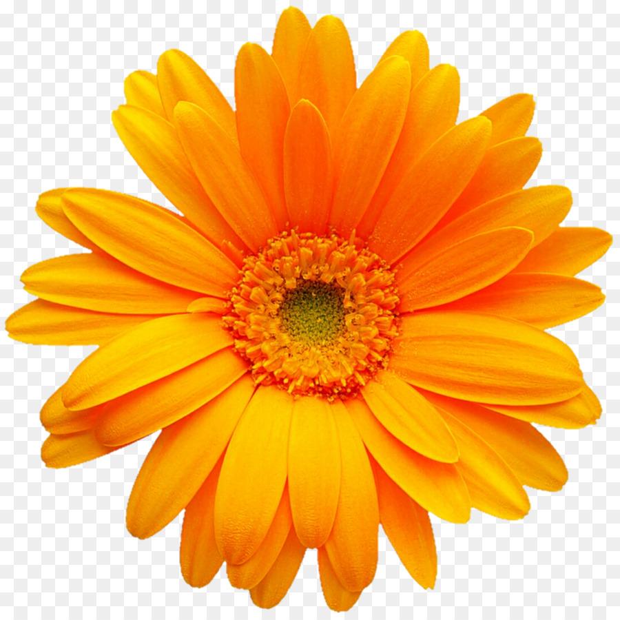 Transvaal Daisy Gerber Format Color Clip Art Yellow Daisy Png