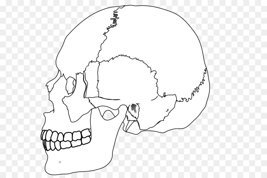 Cráneo humano, hueso Nasal cuerpo Humano - color cráneo png dibujo ...