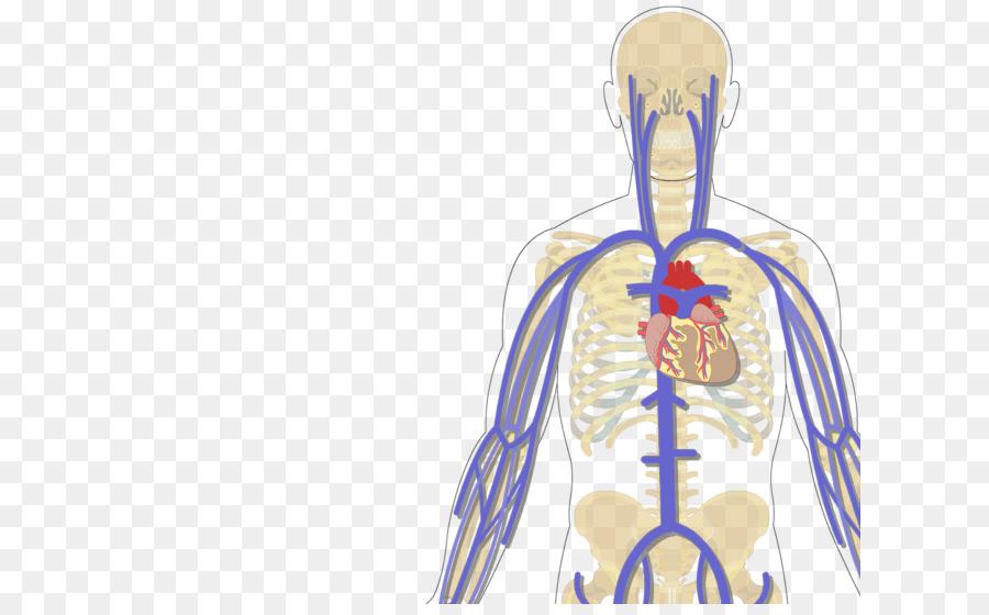 Human body Arm Median antebrachial vein Subclavian vein - neck ...