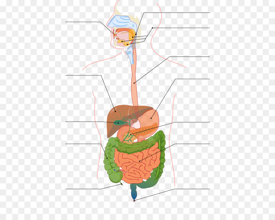 Gastrointestinal tract Digestion Small intestine Human digestive ...