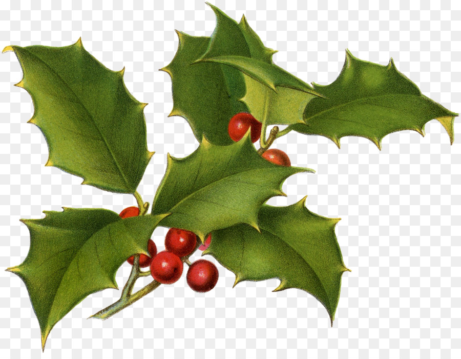 common holly christmas drawing botany printing greenery