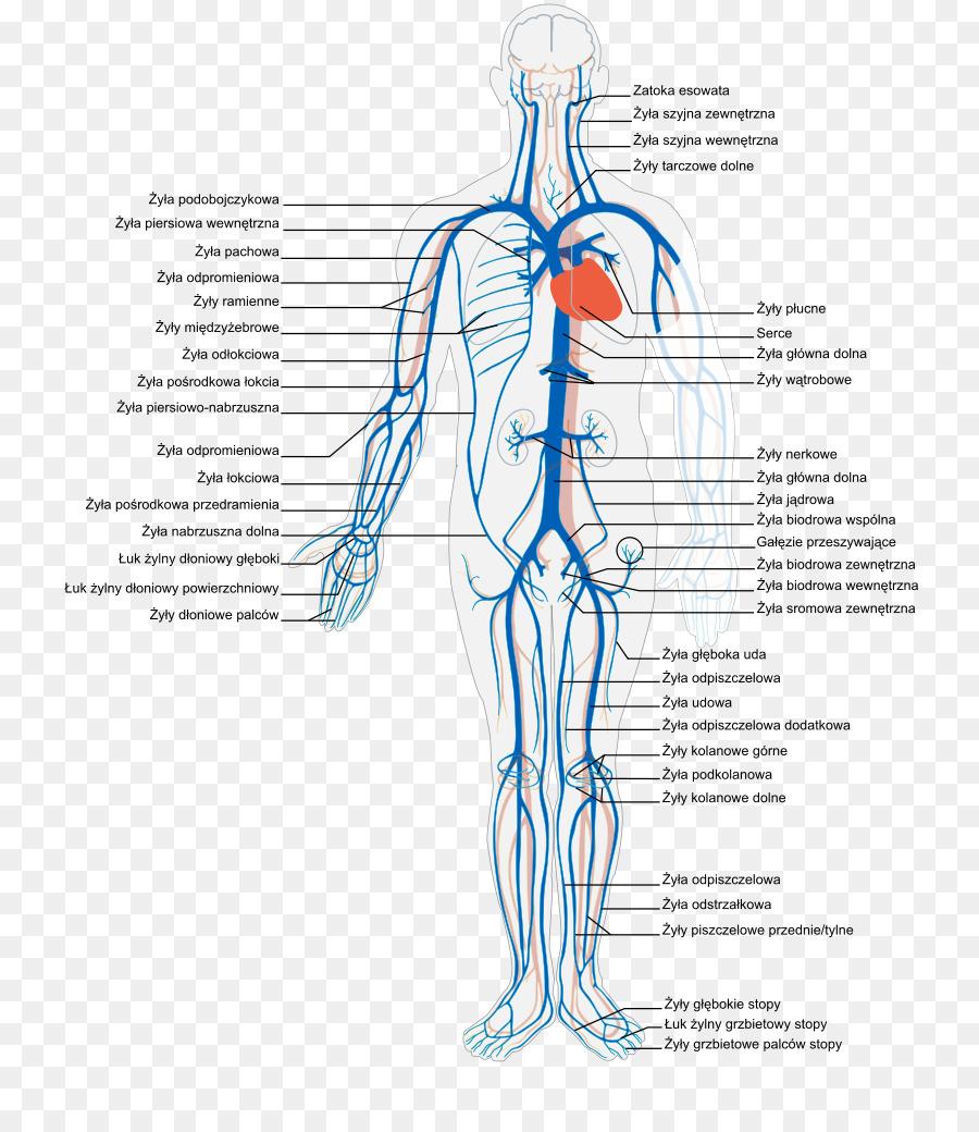Vena cuerpo Humano sistema Circulatorio Anatomía de la Arteria ...