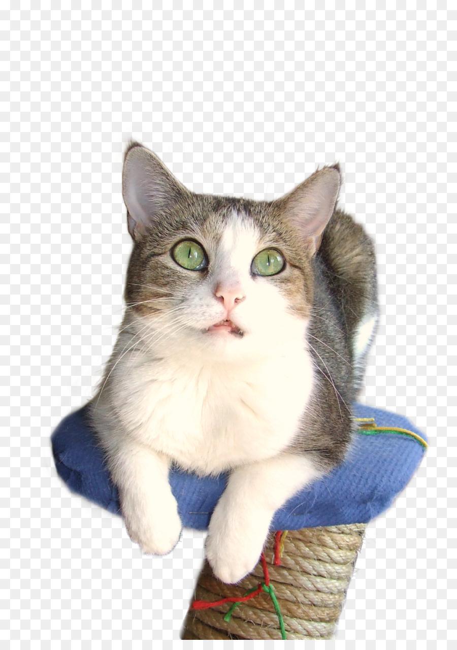 American Wirehair European shorthair Aegean cat American Shorthair ...