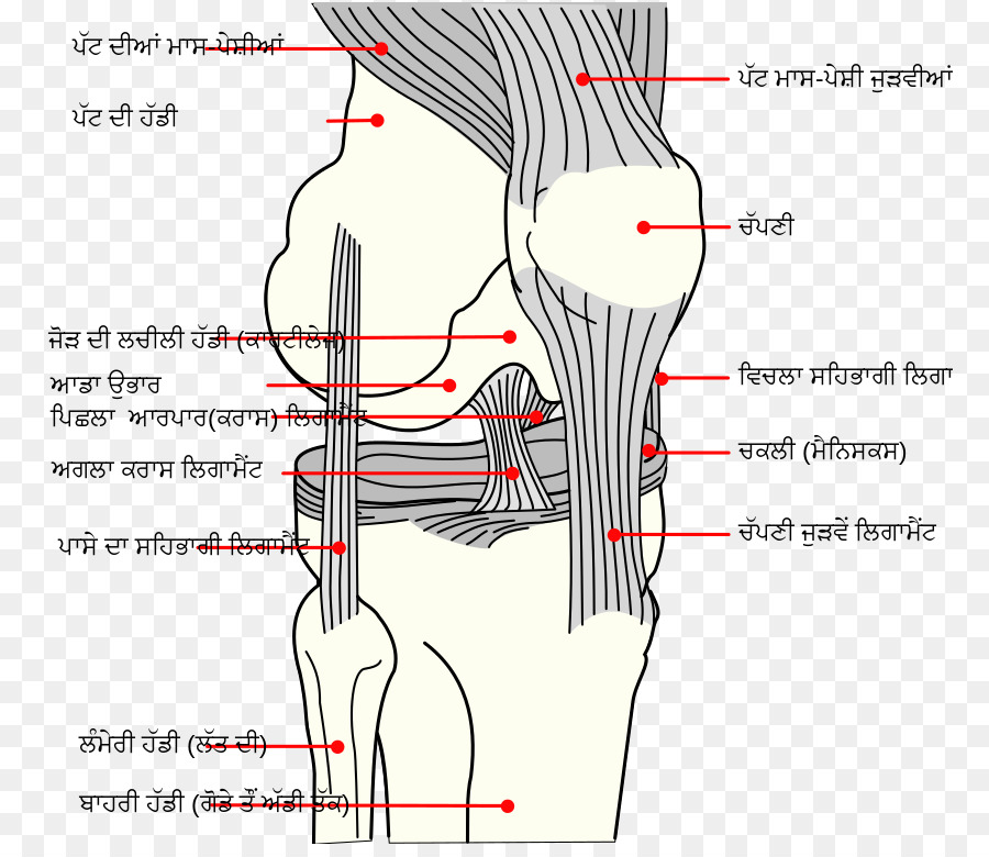 Knee Medial Collateral Ligament Anterior Cruciate Ligament Posterior