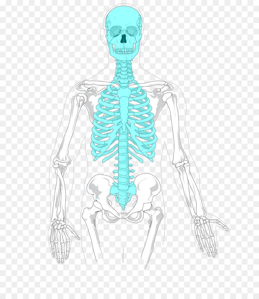 Esqueleto Axial esqueleto Humano esqueleto Apendicular de la caja ...