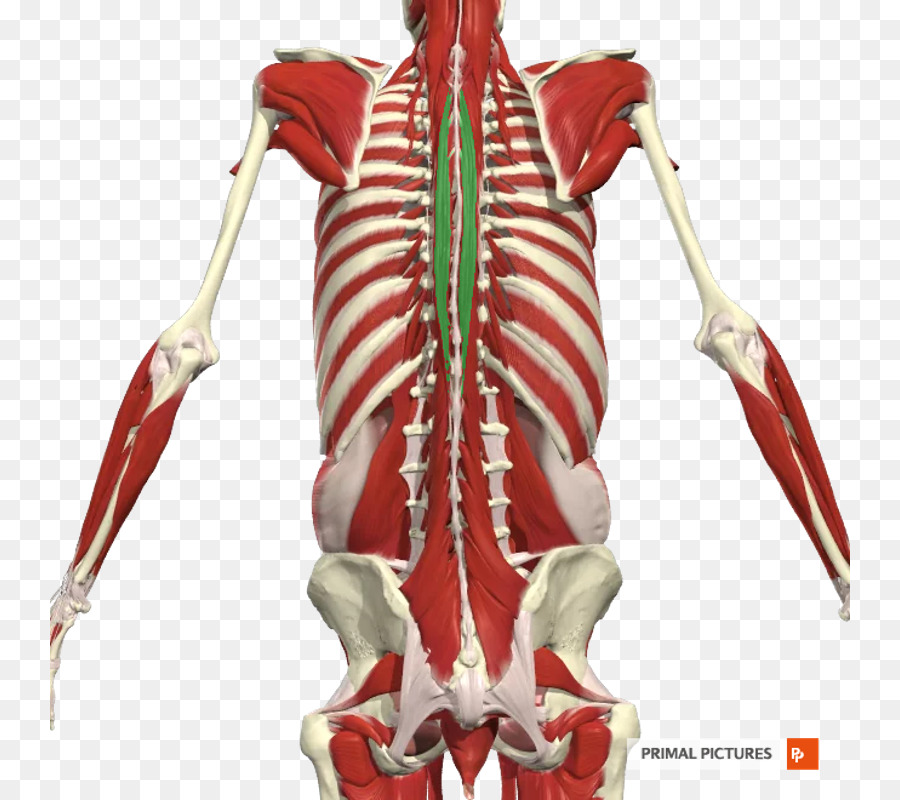 Erector espinal a los músculos del Hueso de la más amplia espalda ...