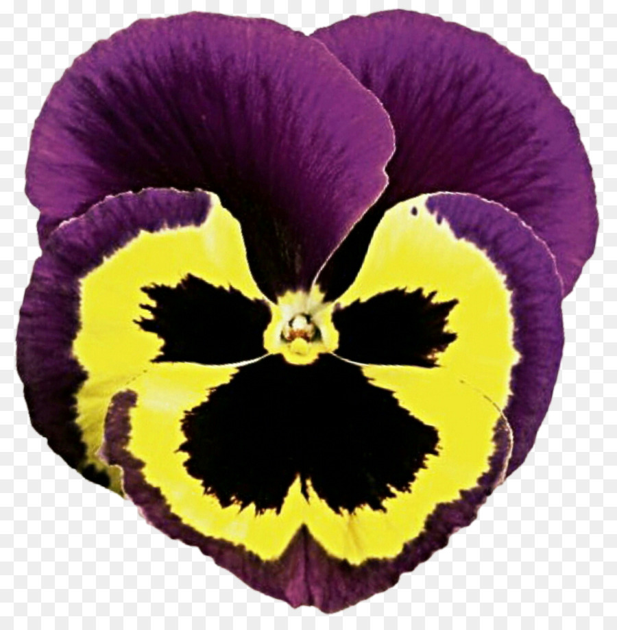 Pansy Flower Petal Plant Violet Pansy Png Download 879909