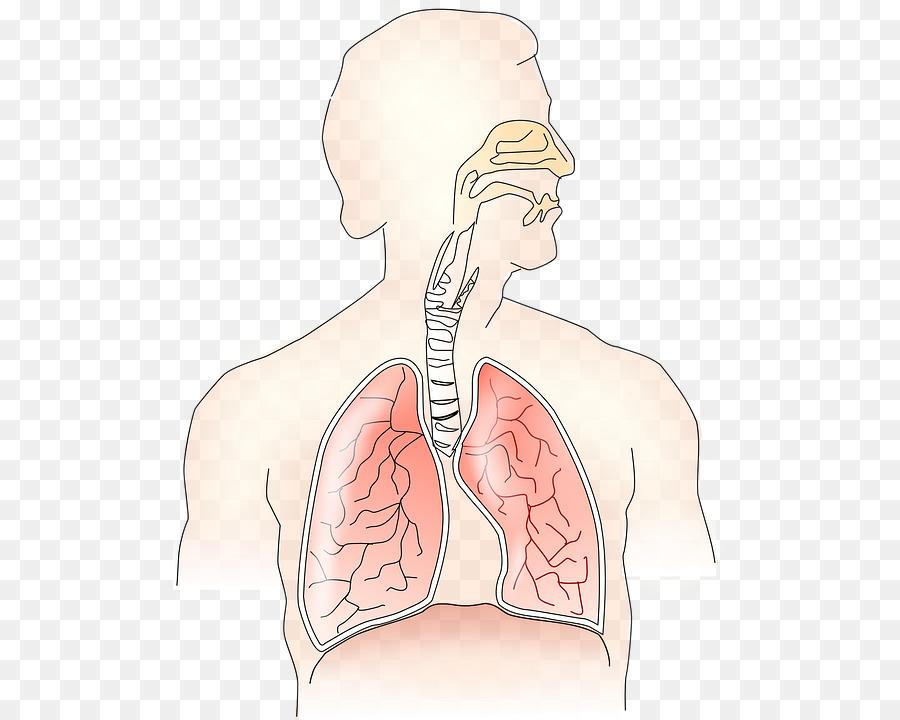 Respiratory system Breathing Respiratory tract Respiration Human ...
