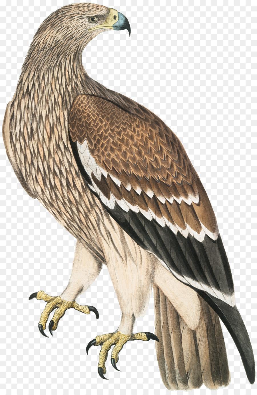 Las Aves de América del Águila Calva Dibujo - golden eagle Formatos ...
