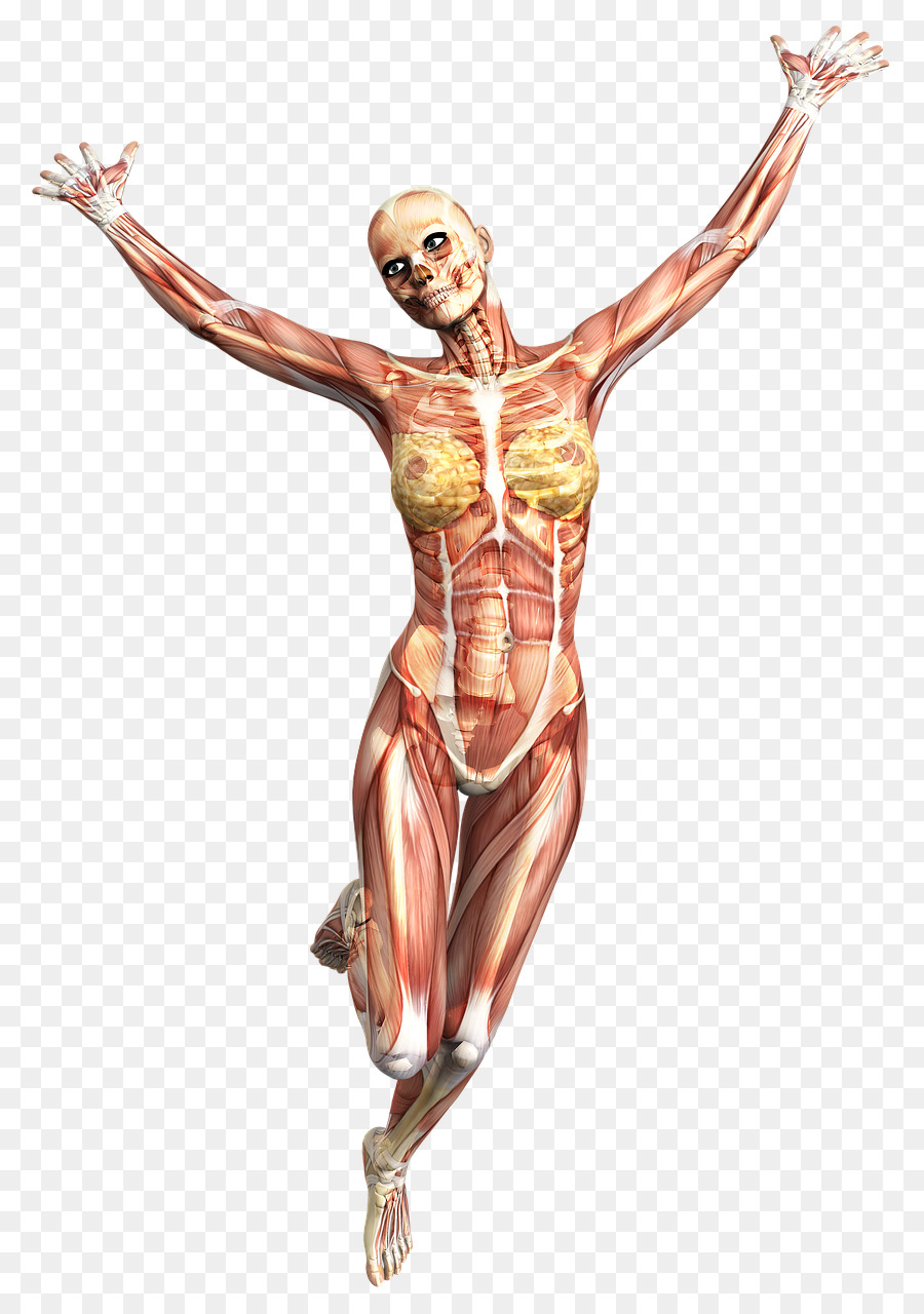 Muscle Anatomy Skeleton Human body Joint - Skeleton png download ...