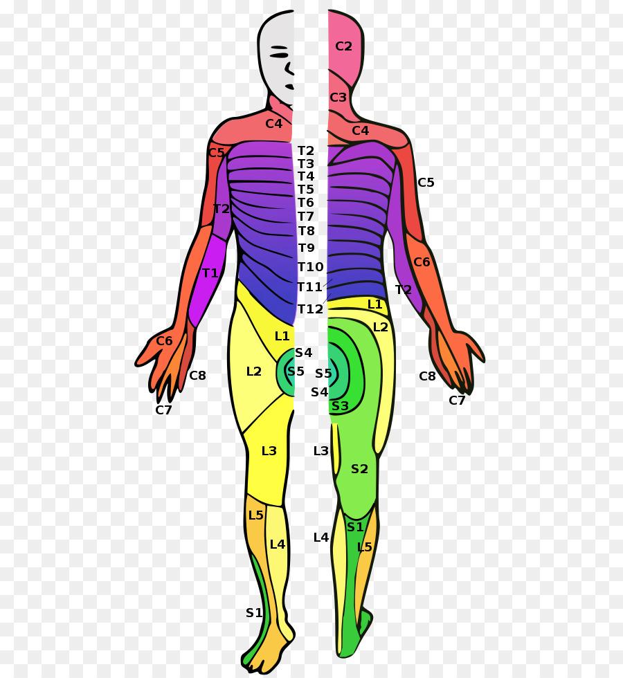 Dermatom, Rückenmark-Verletzung, Rückenmark-Nerven-Wirbelsäule ...