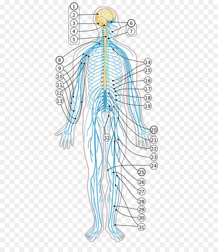 Human Body Diagram Nervous System Nerve Homo Sapiens The