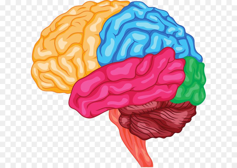 Human Brain Anatomy Brainstem Cerebrum St Vector Png Download