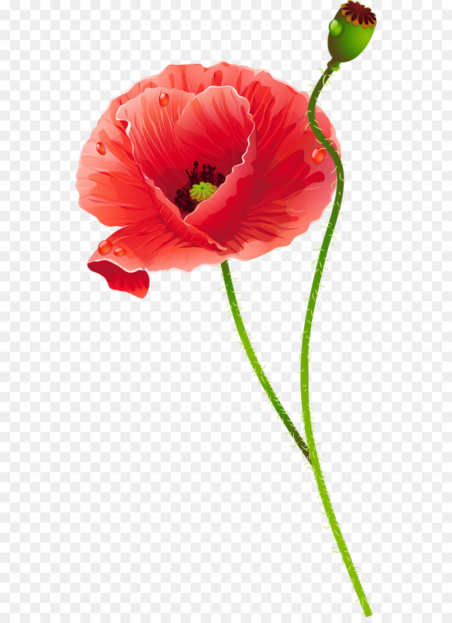 Common poppy cut flowers poppies png download 6001229 free common poppy cut flowers poppies mightylinksfo