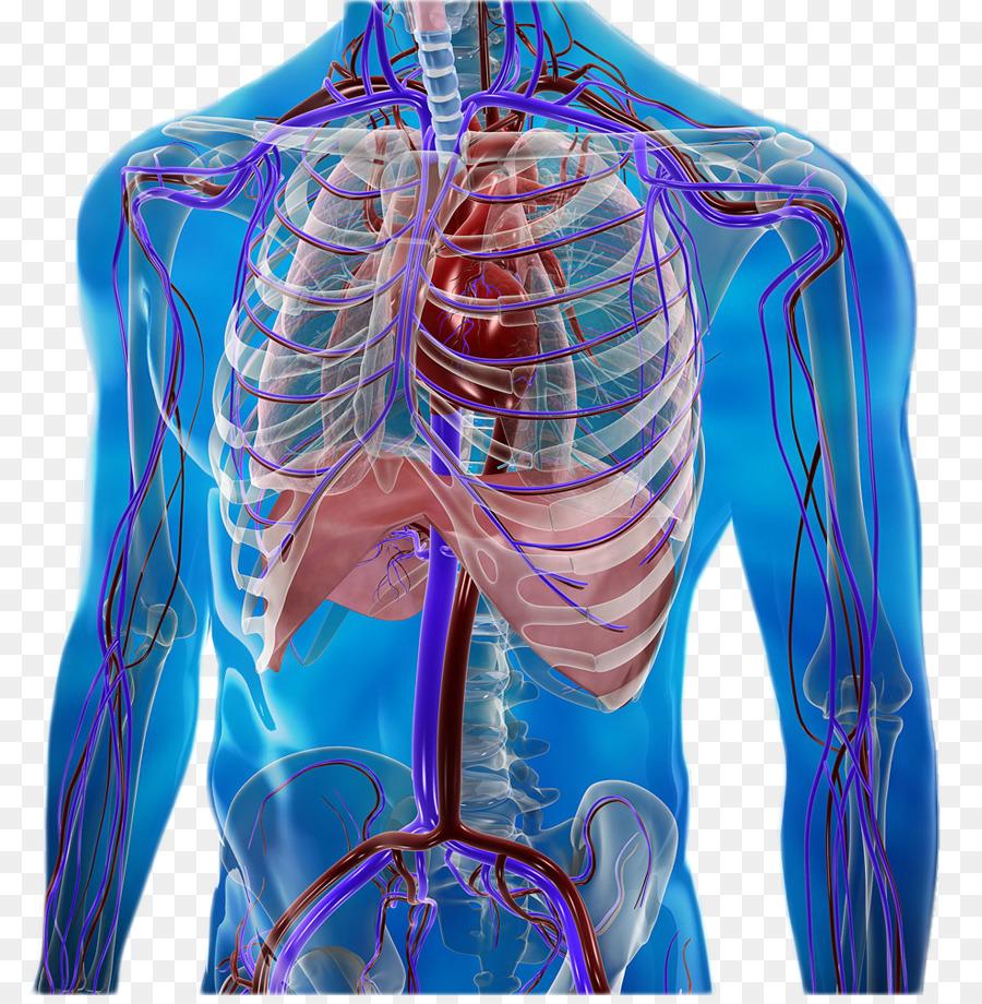 Cuerpo humano Circulatorio Anatomía y Fisiología del sistema ácidos ...