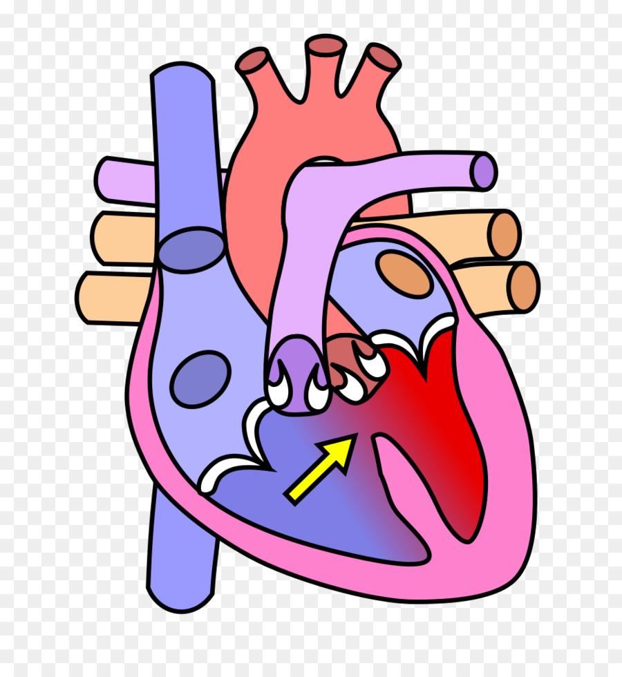 La válvula del corazón Diagrama de cuerpo Humano sistema ...