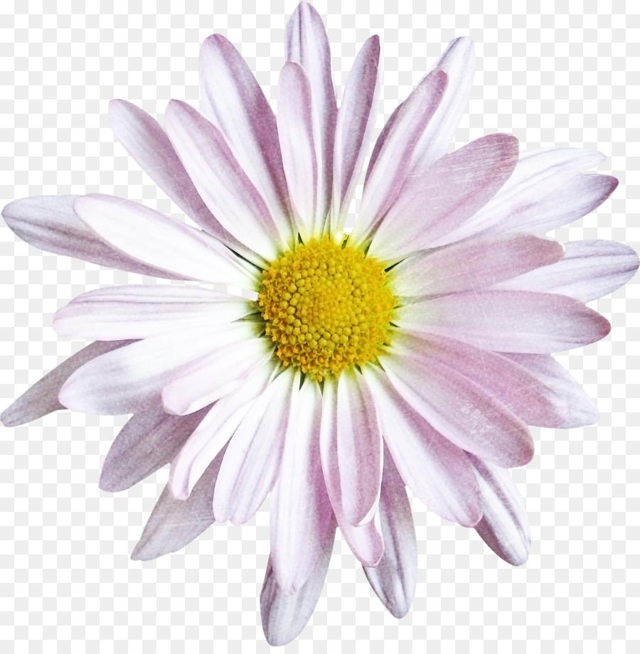 Common daisy oxeye daisy chrysanthemum argyranthemum frutescens cut common daisy oxeye daisy chrysanthemum argyranthemum frutescens cut flowers chrysanthemum izmirmasajfo