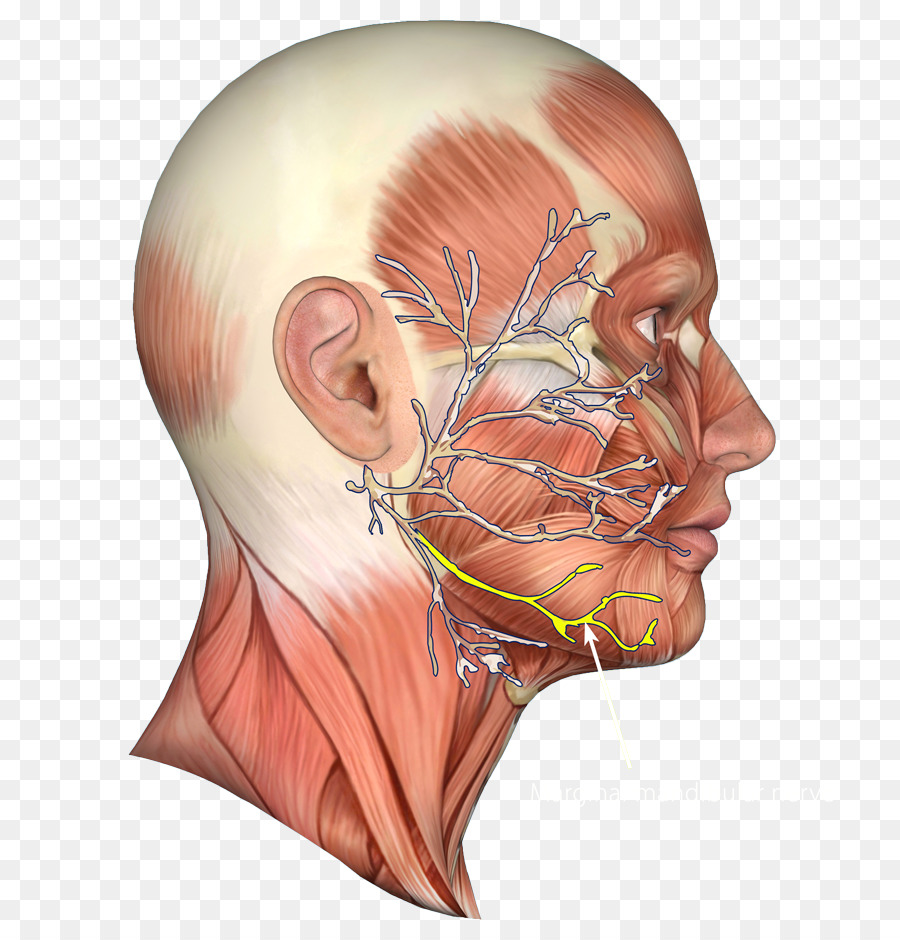 Jaw Facial nerve Chin Muscle - nerve png download - 800*930 - Free ...