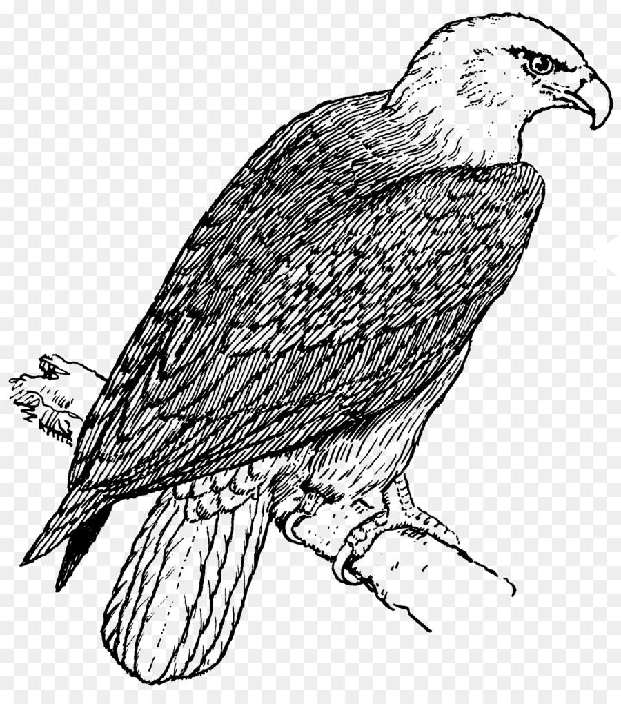 Águila calva libro para Colorear de Niño Golden eagle - águila ...