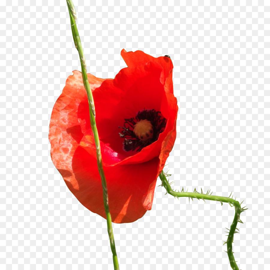 Common Poppy Deviantart Flower Poppies Png Download 16001600