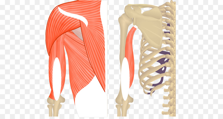 Triceps brachii muscle Teres major muscle Biceps Anatomy - the upper ...