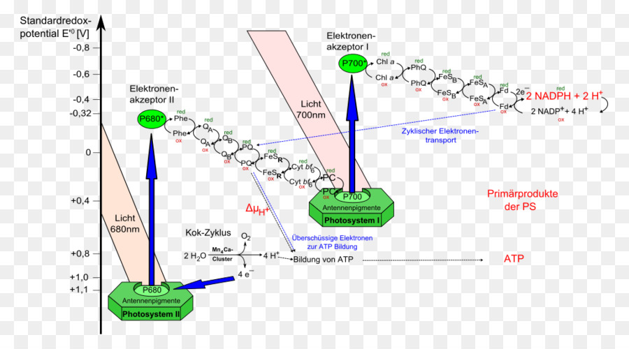 Light dependent reactions photosynthesis photosystem ii vector light dependent reactions photosynthesis photosystem ii vector linear light ccuart Choice Image