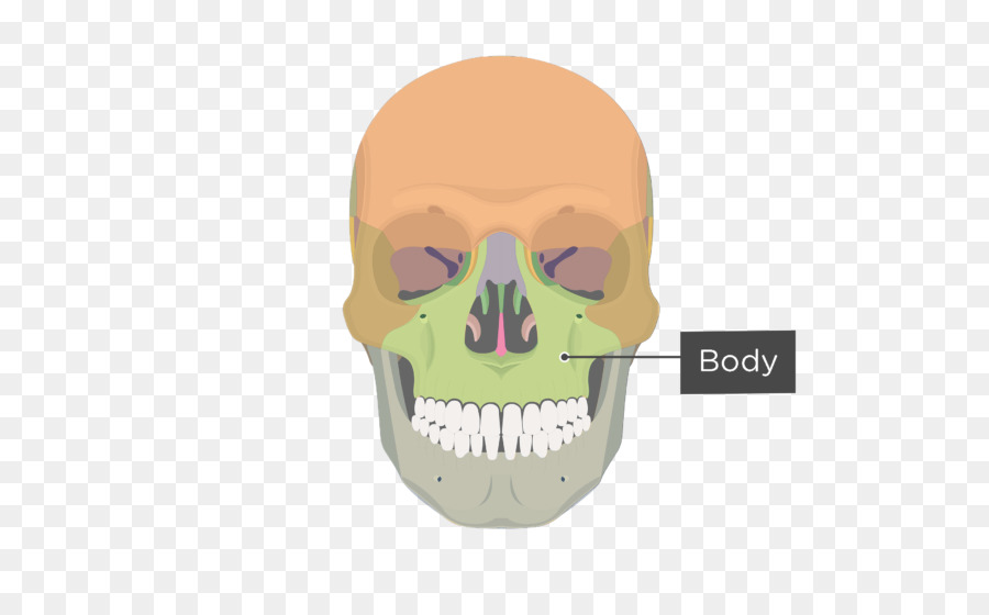 Maxilla Zygomatic Bone Zygomatic Process Sphenoid Bone Upward