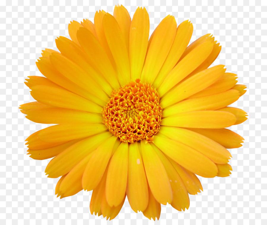 Cut Flowers, Flower, Transvaal Daisy, Pollen, Chrysanths PNG