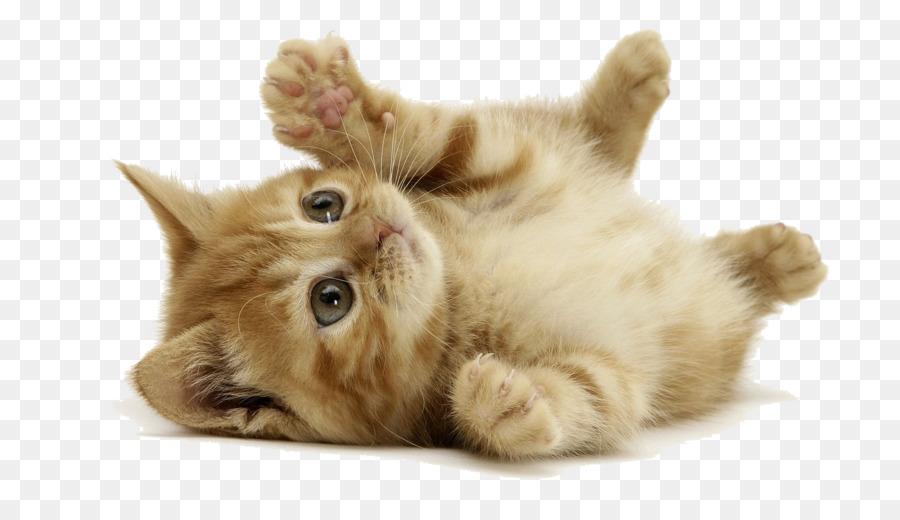 Kitten Desktop Wallpaper Siberian Cat Dog Wallpapers