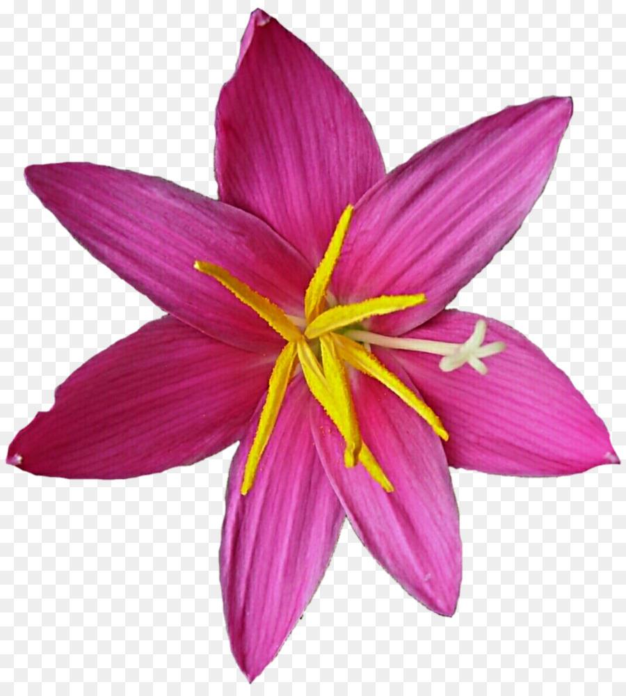 Crocus Magenta Violet Purple Iridaceae Lily Flower Png Download