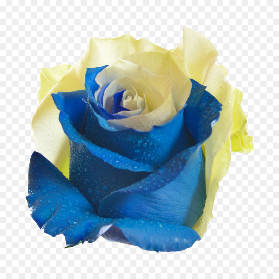 Blue Rose Garden Roses Flower Centifolia Roses Yellow Blue Png