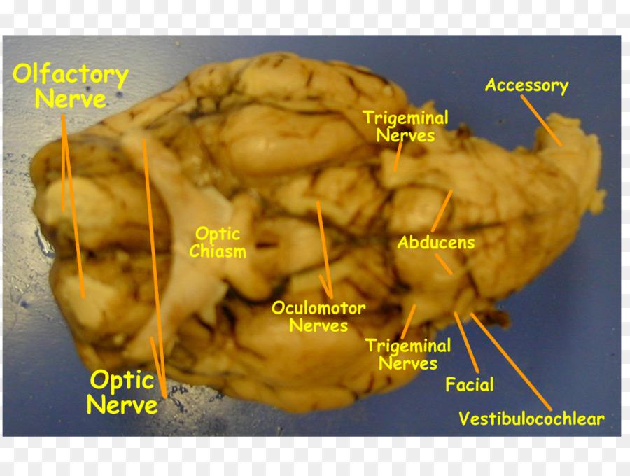 Ovejas nervios Craneales Cerebro del nervio Hipogloso nervio ...